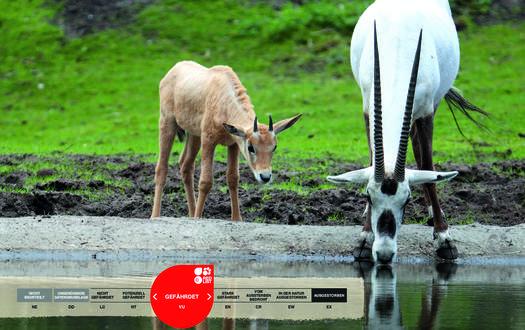 Wildtiere im Serengeti-Park: Arabische Oryx