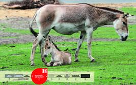 Wildtiere im Serengeti-Park: Kulan