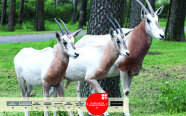 Wildtiere im Serengeti-Park: Säbelantilope