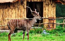 Kleiner Kudu - Wildtiere Serengeti-Park