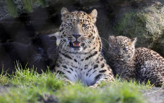 Amur Leopard - Wildtiere Serengeti-Park