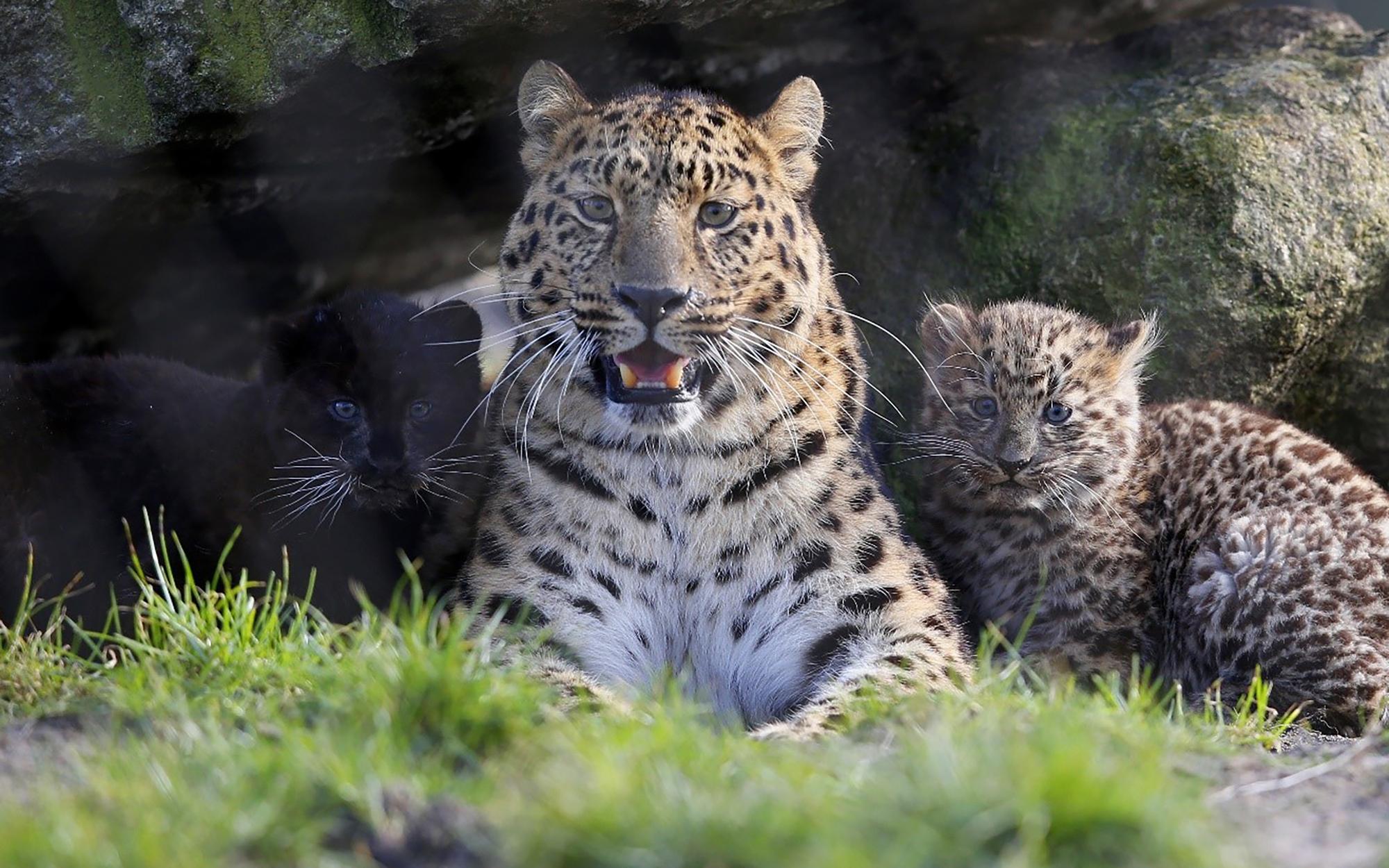 amur leopard wildtiere im serengeti park. Black Bedroom Furniture Sets. Home Design Ideas