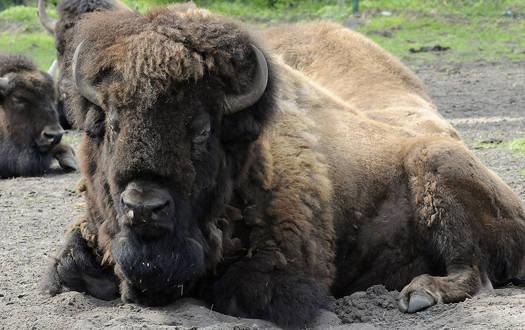 Bison - Wildtiere Serengeti-Park