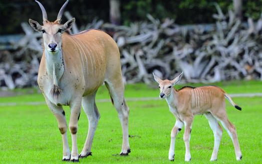 Elenantilope - Wildtiere Serengeti-Park