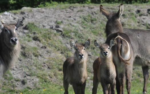 Ellipsen-Wasserbock - Wildtiere Serengeti-Park