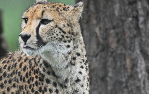 Gepard - Wildtiere Serengeti-Park