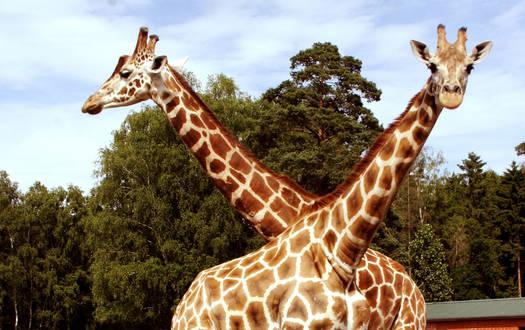 Giraffe - Wildtiere Serengeti-Park