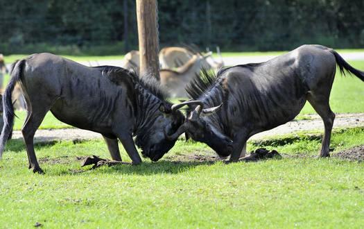 Gnu - Wildtiere Serengeti-Park