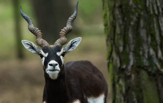 Hirschziegenantilope - Wildtiere-Serengeti-Park