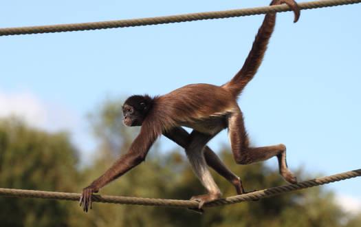 Klammeraffe - Wildtiere Serengeti-Park
