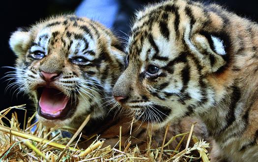 Bengaltiger - Wildtiere Serengeti-Park