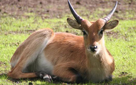 Litschi Wasserbock - Wildtiere Serengeti-Park