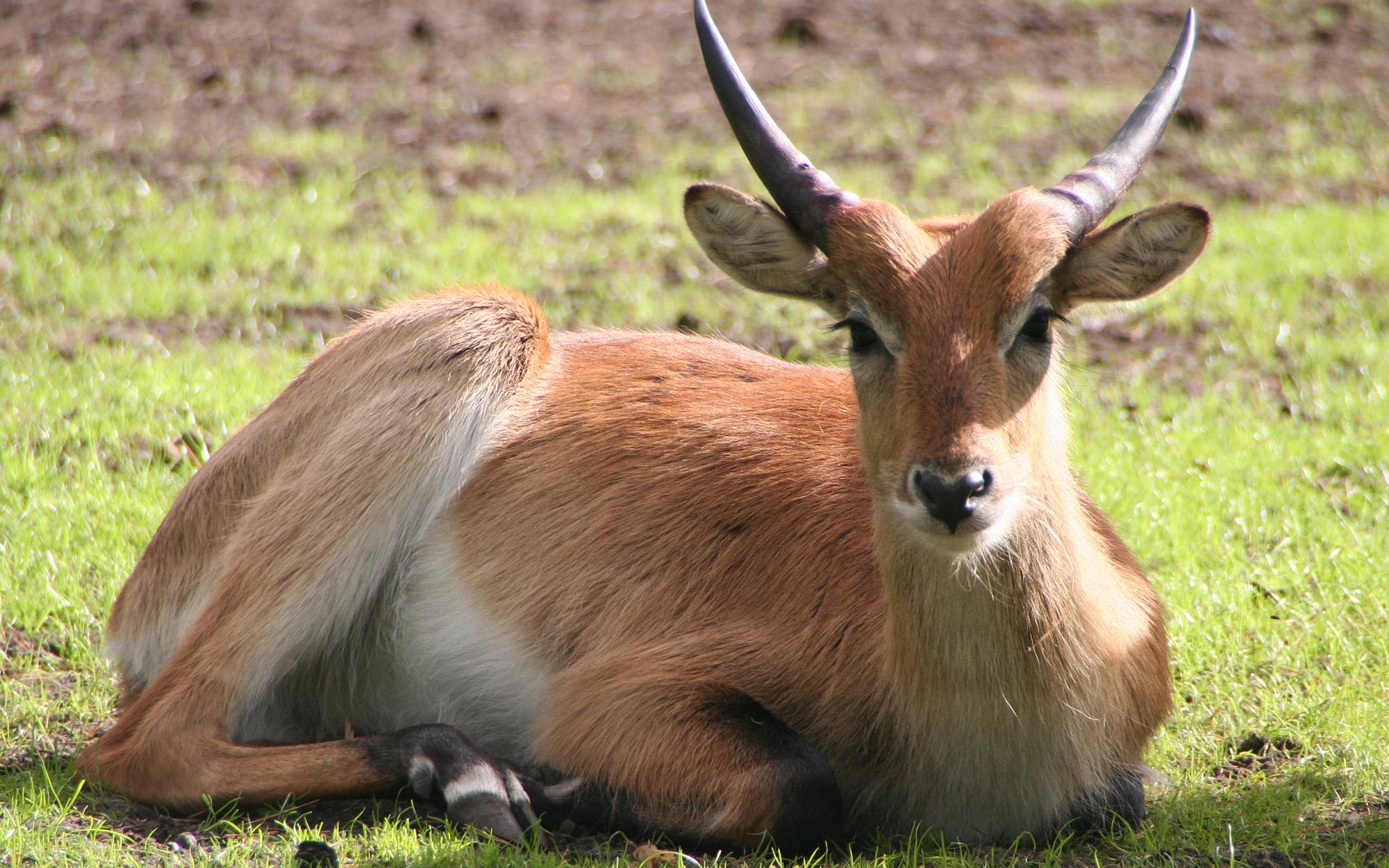 litschi wasserbock wildtiere im serengeti park. Black Bedroom Furniture Sets. Home Design Ideas