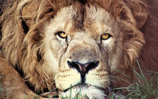 Löwe - Wildtiere Serengeti-Park