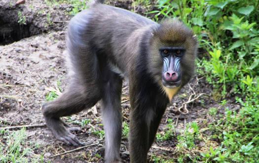 Mandrill - Wildtiere Serengeti-Park