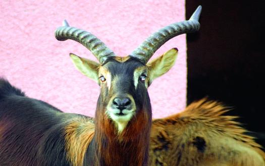 Mrs Gray Wasserbock - Wildtiere Serengeti-Park