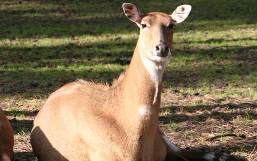 Nilgauantilope - Wildtiere Serengeti-Park