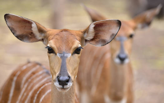 Nyala - Wildtiere Serengeti-Park
