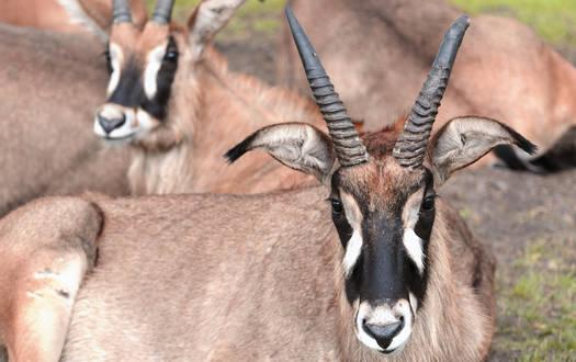 Pferdeantilope - Wildtiere Serengeti-Park