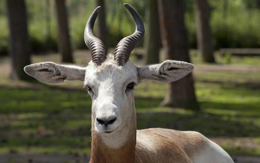 Rothalsgazelle - Wildtiere Serengeti-Park