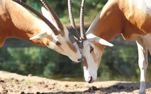 Säbelantilope - Wildtiere Serengeti-Park