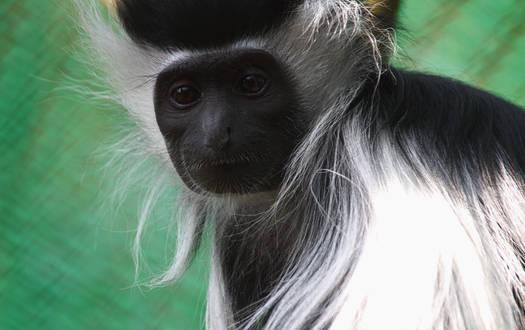 Stummelaffe - Wildtiere Serengeti-Park
