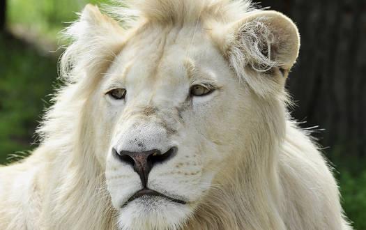 Weißer Löwe - Wildtiere Serengeti-Park