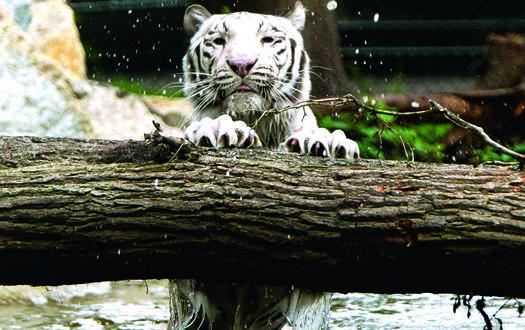 Weißer Tiger - Wildtiere Serengeti-Park