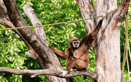 Weisshandgibbon - Wildtiere Serengeti-Park