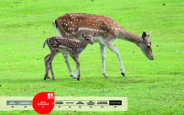 Wildtiere im Serengeti-Park: Damwild