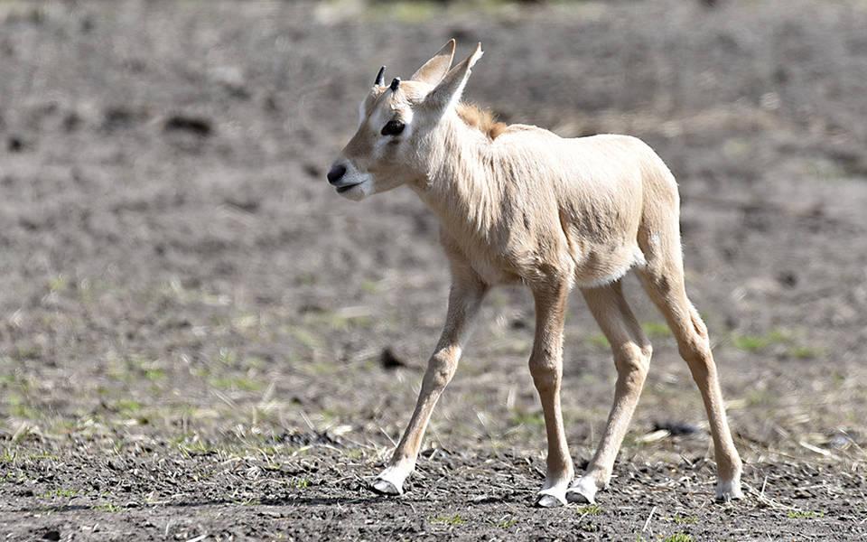 Arabische Oryx - Wildtiere Serengeti-Park