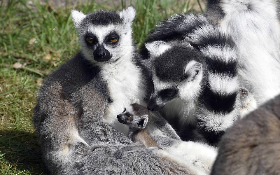Katta - Wildtiere Serengeti-Park