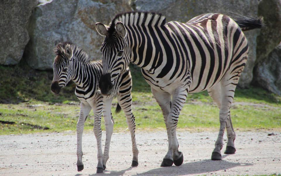 Steppenzebra - Wildtiere Serengeti-Park
