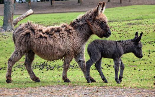 Zwergesel - Wildtiere Serengeti-Park