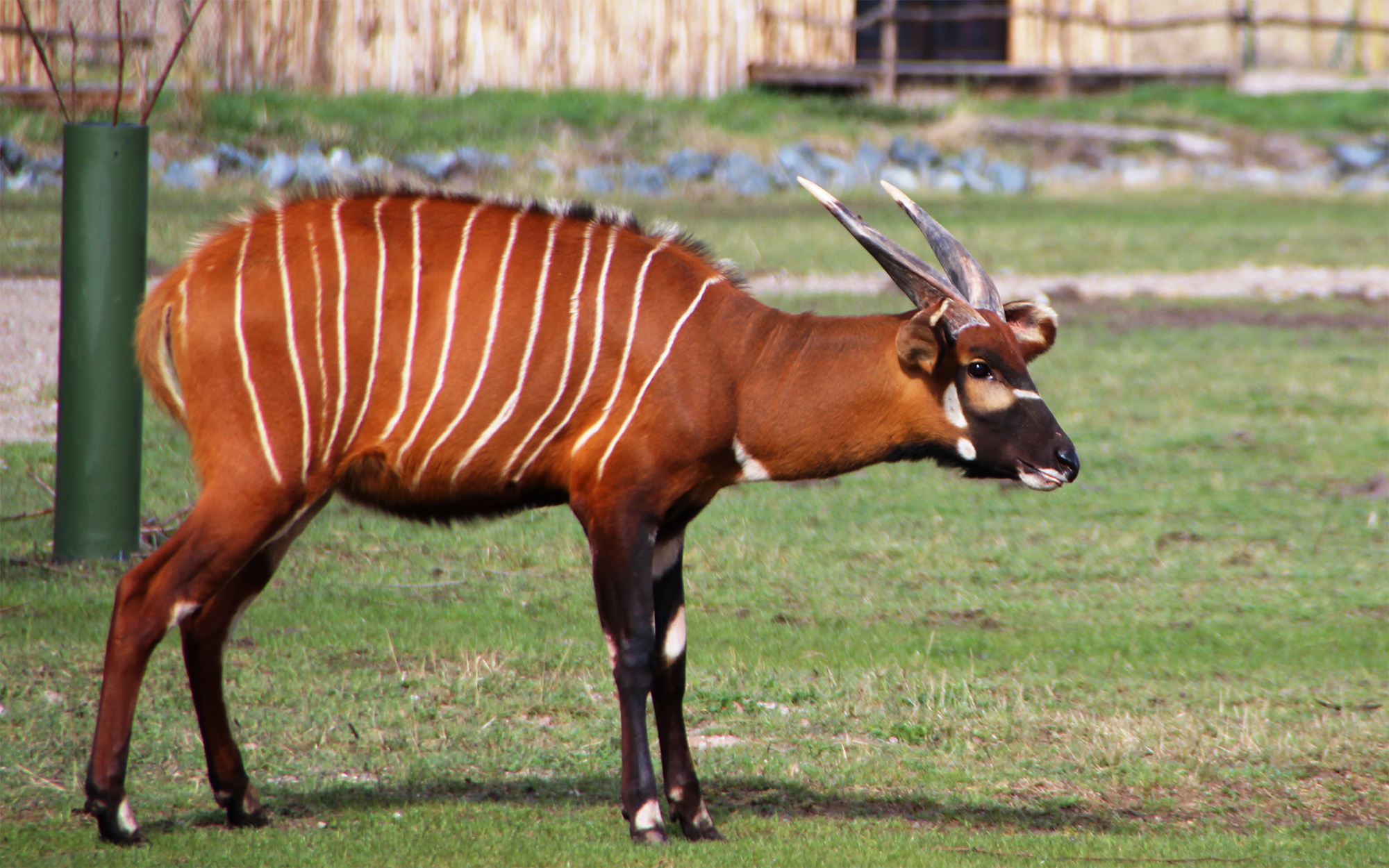 ostafrikanischer bongo wildtiere im serengeti park. Black Bedroom Furniture Sets. Home Design Ideas