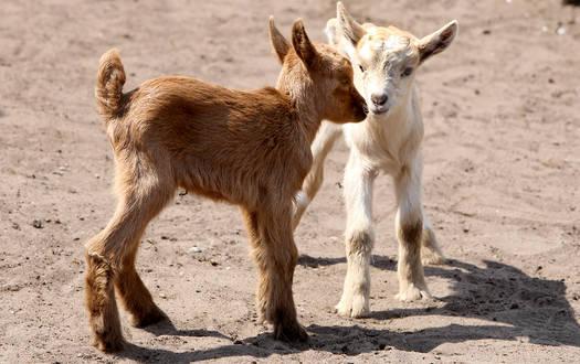 Ziege- Wildtiere Serengeti-Park