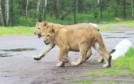 Löwenkinder - Wildtiere Serengeti-Park