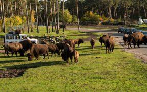 Bisonherde im Serengeti-Park Hodenhagen