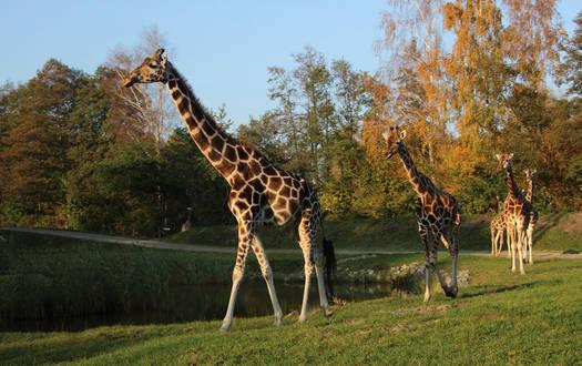 Giraffen im herbstlichen Serengeti-Park
