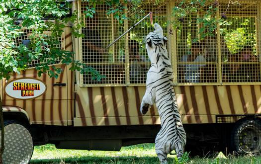 Raubtier-Safari im Serengeti-Park