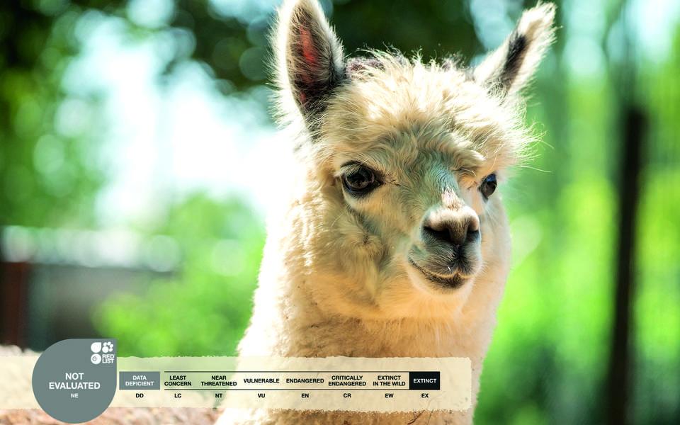 Serengeti-Park animals: Alpaca