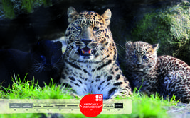 Serengeti-Park animals: Amur Leopard