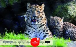 Wildtiere im Serengeti-Park: Amurleopard