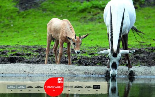 Serengeti-Park animals: Arabian Oryx