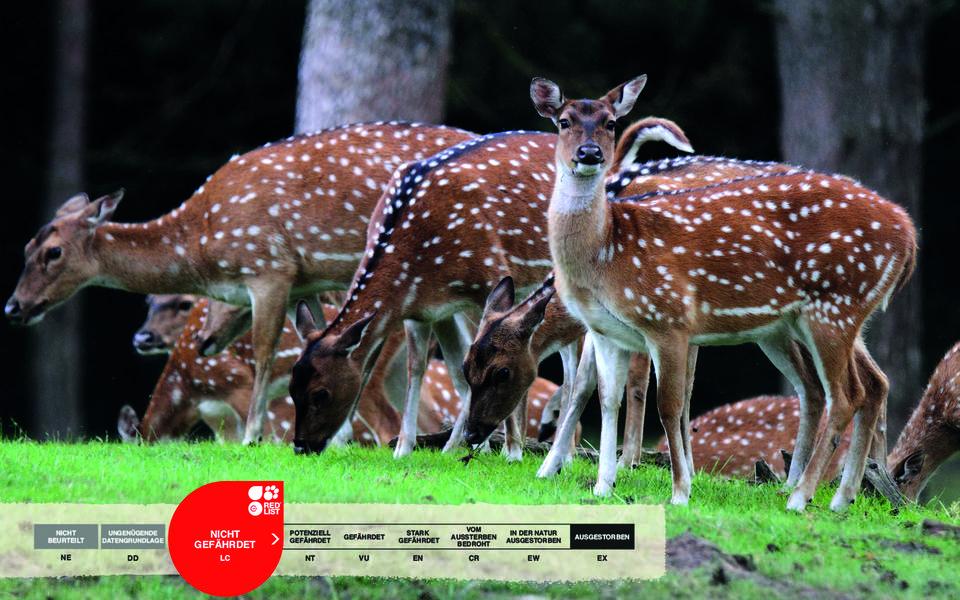 Wildtiere im Serengeti-Park: Axishirsch