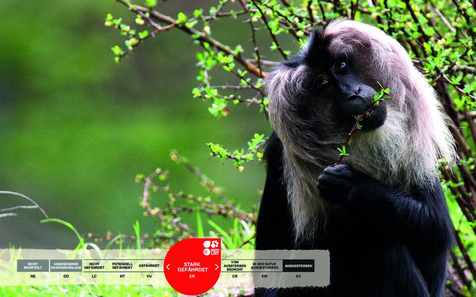 Wildtiere im Serengeti-Park: Bartaffe