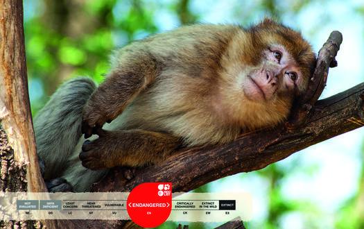 Serengeti-Park animals: Barbary macaque