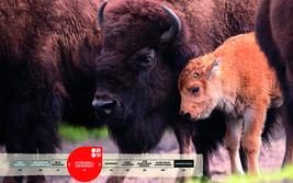 Wildtiere im Serengeti-Park: Bison
