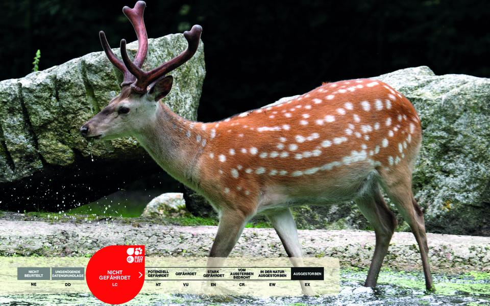 Wildtiere im Serengeti-Park: Dybowski-Hirsch