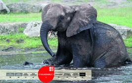 Serengeti-Park animals: African Elephant